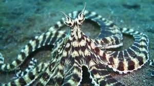 live footage of mimic octopus hd youtube