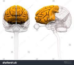 3d Head Anatomy Frontal Lobe Brain Anatomy 3d Illustration Stock Illustration