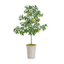 potted lemon tree 3d model cgtrader