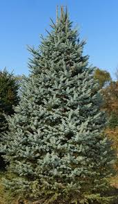 wholesale colorado blue spruce trees picea pungens glauca