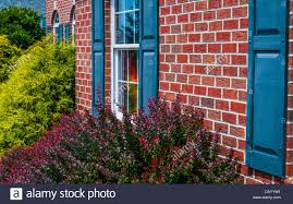 bushes and front of brick house with blue shutters stock photo