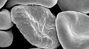 Seeking Blood Malaria Molecule Attracts Blood Seeking Mosquitoes Bugbitten