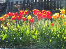 file tulips in a flower bed jpg wikimedia commons