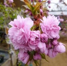 trees with pink flowers prunus flowering trees