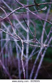 rubus cockburnianus bramble ornamental bramble stock photo