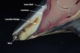 Horn And Hoof Flag Seedy Toe Or White Line Disease Holistichorse Com
