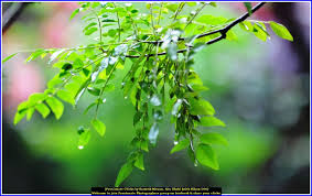 curry tree herb murraya koenigii photo speaks home is where the heart is a curry tree from