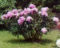 peonies for sale tips for finding the peony roots for sale htv magazine