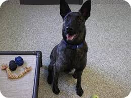 belgian malinois brindle barrie on belgian malinois meet spike a dog for adoption