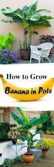 how to grow banana in a pot banana plants bananas and plants