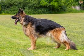 the top ten most popular registered dog breeds in the uk pets4homes