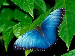 butterflies desktop hd wallpaper free download butterfly