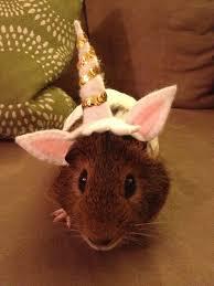 Hamster Halloween Costumes Pin Hakarl Bee Halloween 2015 Guinea Pig