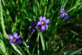 blue eyed grass diminuitive irises writing for nature