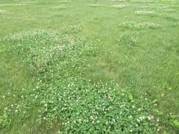 white clover exploding in lawns msu extension