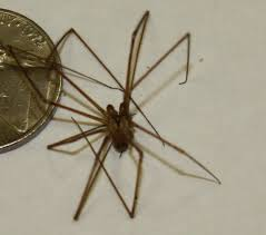 Brown Recluse Map Brown Recluse Spiders At Spiderzrule The Best Site In The World