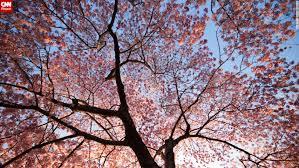 cherry blossom pics cherry blossoms reach their peak in washington d c cnn travel