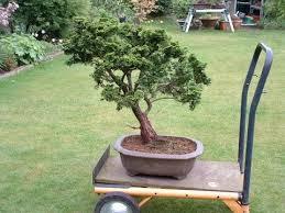false cypress chamaecyparis bonsai tree