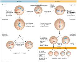 image meiosis vs  mitosis for term side of card StudyBlue