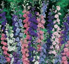 delphinium flower larkspur flower facts and meaning july birth flower delphinium