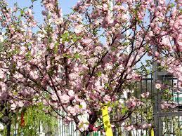 flowering almond standard knippel garden centre