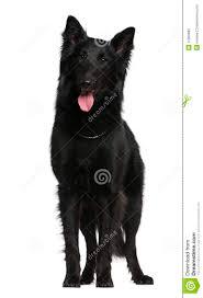 belgian sheepdog groenendael puppies belgian shepherd dog groenendael 21 months old royalty free