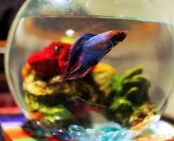 Betta Fish Vase With Bamboo Is It Safe To Keep A Betta In A Vase