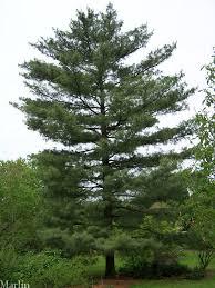 white pine tree himalayan white pine tree pinus wallichiana