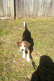 bluetick coonhound puppies joplin mo treeing walker coonhound puppy dogs i want to have pinterest