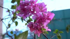 Paper Flowers Video - paper flower vietnamese