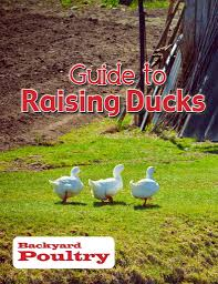 how to raise ducks best ducks for eggs what ducks eat duck