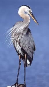 great blue heron by fotoguy22 bird u0027s eye view pinterest blue