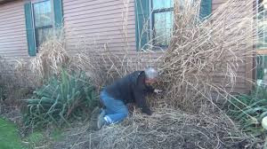 how to take care of ornamental grass in garden