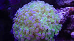 Image result for Euphyllia paradivisa