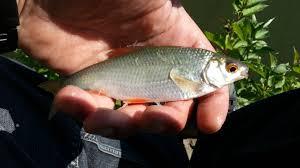 cuisiner le gardon nouveau montage feeder léger éden is fishing easy