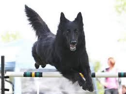 belgian sheepdog rescue california belgian shepherd dogs and breeders in canada canadogs