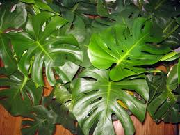 philodendron split leaf philodendron youtube