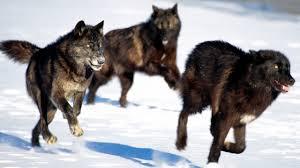 national geographic black wolf wildlife animal youtube