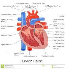 the 25 best human heart diagram ideas on pinterest diagram of