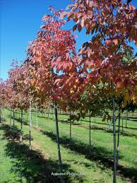 Green Vase Japanese Zelkova Rigert Shade Trees Wholesale Nursery Supplies U0026 Plant Growers In