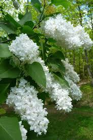wheel shaped flower buds of stenocarpus sinuatus queensland 29 best garden images on pinterest gardening flowers and plants