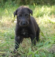 afghan hound vs wolfhound sottish deerhound phot scottish deerhound puppy photo and