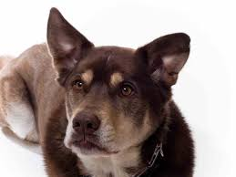 australian shepherd rottweiler mix puppies for sale husky lab mix a k a siberian retriever an overview ultimate