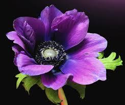 anemone flowers purple anemone flower photograph by gitpix