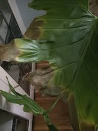 Why Are My Plants Turning by Read Why Philodendron Houseplant Leaves Curl And Turn Brown At