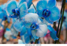 blue orchids for sale blue orchid stock photos blue orchid stock images alamy