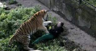zookeeper attacked by siberian tiger recovering in