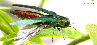 Emerald Ash Borer Map Love Your Ash Trees Take Steps To Protect Them From The Emerald