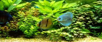 Freshwater Fish Freshwater Fish And Plants For Sale Schweizer Reneke Nw