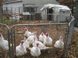 thinking about raising turkeys community chickens